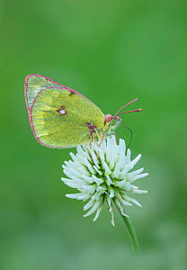 Mountain clouded yellow butterfly (Colias phicomone) Bormio & St Caterina, Alps, Italy, June.  -  Robert  Thompson
