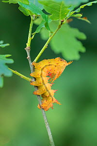 Saturniid moth (Eacles ormondei) caterpillar, Izabal, Guatemala, Central America  -  Robert  Thompson