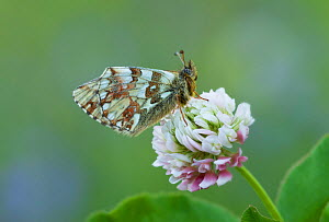 Mountain fritillary butterfly (Bolaria napaea) on clover flower,  Alps, Italy  -  Robert  Thompson