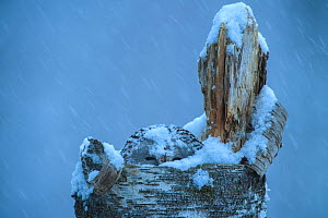 Ural owl (Strix uralensis) on nest in tree stump, covered in snow, Tartu County, Estonia. March. Second Place in the Portfolio category of the Terre Sauvage Nature Images Awards 2017.  -  Sven  Zacek