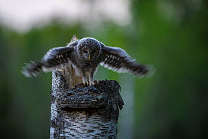 Ural owl (Strix uralensis) chick standing on edge of nest in tree stump stretching wings, Tartu County, Estonia. April. Second Place in the Portfolio category of the Terre Sauvage Nature Images Awards...  -  Sven  Zacek