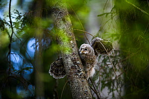 Ural owl (Strix uralensis) chick stretching wings on branch, Tartu County, Estonia. Second Place in the Portfolio category of the Terre Sauvage Nature Images Awards 2017.  -  Sven  Zacek