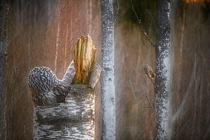Ural owl (Strix uralensis) pair, one on nest and another perched in tree in background. Tartu County, Estonia. May. Second Place in the Portfolio category of the Terre Sauvage Nature Images Awards 201... - Sven  Zacek
