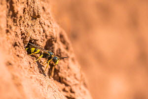 Ornate tailed digger wasp (Cerceris rybyensis), at nest hole, Monmouthshire, Wales, UK, August. - Phil Savoie