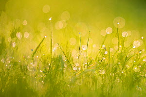 Dewdrops on grass with bokeh affect,  Monmouthshire, Wales, UK September.  -  Phil Savoie