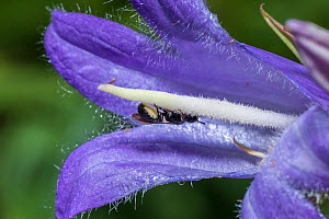 Harebell carpenter bee (Chelostoma campanularum) at 4-5mm long one of Britain's smallest bees, visiting Giant harebell (Campanula latifolia) to collect pollen, Pentwyn farm SSSI, Gwent Wildlife Trust,...  -  Phil Savoie