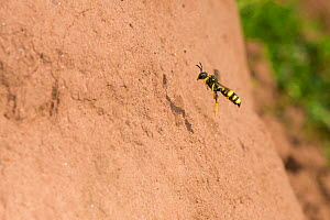 Ornate digger wasp (Cerceris rybyensis) flying to nest burrow, Monmouthshire, Wales, UK, August. - Phil Savoie