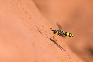 Ornate digger wasp (Cerceris rybyensis) flying to burrow,  Monmouthshire, Wales, UK, August. - Phil Savoie