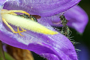 Harebell carpenter bee (Chelostoma campanularum) at 4-5mm long one of Britain's smallest bees, female visiting Giant harebell (Campanula latifolia) to collect pollen, with male landing, Pentwyn farm S...  -  Phil Savoie