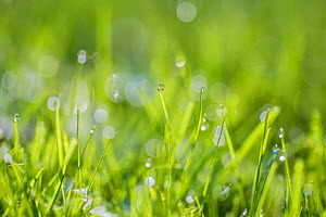 Dewdrops on grass, Monmouthshire, Wales UK, October.  -  Phil Savoie