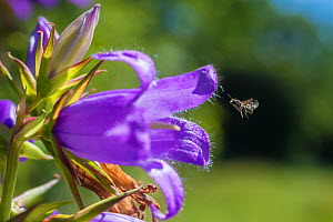 Harebell carpenter bee (Chelostoma campanularum) at 4-5mm long one of Britain's smallest bees, visiting Giant harebell (Campanula latifolia) Pentwyn farm SSSI, Gwent Wildlife Trust, Reserve, Monmouths...  -  Phil Savoie