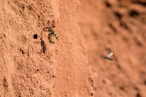 Ornate tailed digger wasp (Cerceris rybyensis) flying to nest carrying paralysed  White zoned furrow bee (Lasioglossum leucozonium). Followed by male White zoned furrow bee. Monmouthshire, Wales, UK.... - Phil Savoie