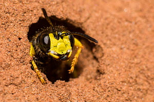 Ornate digger wasp  (Cerceris rybyensis), emerging from burrow, Monmouthshire, Wales, UK, August.  -  Phil Savoie