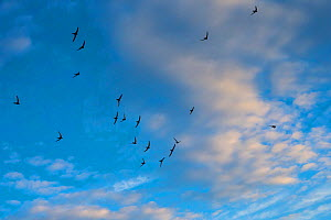 Swift (Apus apus) flock screaming  in flight against blue sky and clouds, Monmouthshire, Wales, UK, July.  -  Phil Savoie