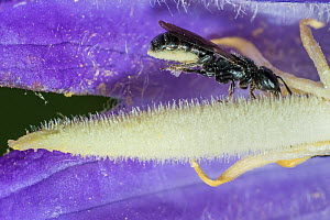 Harebell carpenter bee (Chelostoma campanularum) at 4-5mm long one of Britain's smallest bees, at Giant harebell (Campanula latifolia) collecting pollen, Pentwyn farm SSSI, Gwent Wildlife Trust, Reser...  -  Phil Savoie
