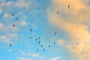 Swift (Apus apus) flock screaming  in flight against blue sky and clouds, Monmouthshire Wales, UK,  July.  -  Phil Savoie