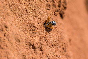 Ornate tailed digger wasp (Cerceris rybyensis), dragging paralysed female White zoned furrow bee (Lasioglossum leucozonium) to nest, Monmouthshire, Wales, UK, August. - Phil Savoie