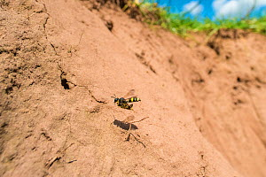 Ornate tailed digger wasp (Cerceris rybyensis), flying carrying paralysed female White zoned furrow bee (Lasioglossum leucozonium) to nest, Monmouthshire, Wales, UK, August. - Phil Savoie