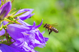 European honey bee (Apis mellifera) flying to Giant harebell (Campanula latifolia) flower,  Pentwyn farm SSSI, Gwent Wildlife Trust, Reserve, Monmouthshire, Wales, UK, July. - Phil Savoie