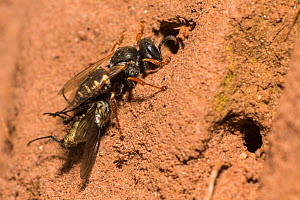 Common spiny digger wasp (Oxybelus uniglumis), carrying prey to nest, impaled on stinger, Monmouthshire, Wales, UK, August. - Phil Savoie