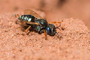 Common spiny digger wasp (Oxybelus uniglumis)  Monmouthshire, Wales, UK, August. - Phil Savoie