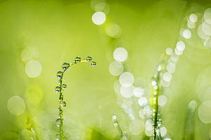 Dew on grass, Monmouthshire Wales, UK, September.  -  Phil Savoie