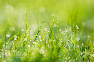 Grass covered in water droplets, Monmouthshire, Wales, UK, September. - Phil Savoie