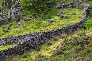 Dry stone walls some dating back to the 1600's,  Pared-y-cefn-hir, Snowdonia National Park, Wales, UK, August. - Phil Savoie