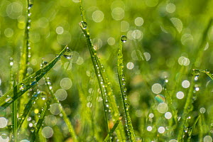 Dewdrop on grass with bokeh affect, Monmouthshire, Wales, UK, September.  -  Phil Savoie