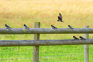 Adult Barn swallow (Hirundo rustica) teaching fledglings how to hunt from post,  Monmouthshire Wales, UK  -  Phil Savoie