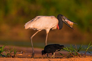 Jabiru Stork (Jabiru mycteria) feeding on fish with Black Vulture (Coragyps atratus) scavenging,Pantanal, Brazil. - Hermann Brehm