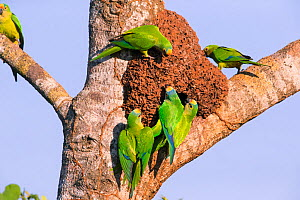Peach-fronted parakeets (Aratinga aurea) investigating old termite mound as possible nest site, Pantanal, Brazil.  -  Hermann Brehm
