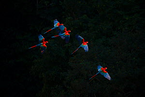 Red-and-Green Macaw (Ara chloropterus) group in flight, against black background, Pantanal Brazil  -  Hermann Brehm