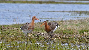 Pair of Black-tailed godwits (Limosa limosa) courting and mating in wetland, Belgium, April  -  Philippe Clement
