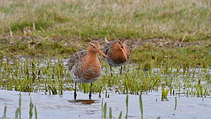 Two black-tailed godwits (Limosa limosa) preening feathers, calling and flying away in wetland, Belgium, April - Philippe Clement