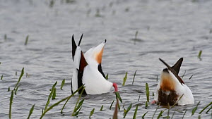 Pair of Common shelduck (Tadorna tadorna) feeding in wetland, Belgium, April.  -  Philippe Clement
