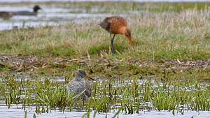 Common redshank (Tringa totanus) preening, with Black-tailed godwit (Limosa limosa) feeding in the background, Belgium, April.  -  Philippe Clement