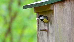 Great tit (Parus major) bringing food to nestbox to feed chicks, leaves with fecal sac, Belgium, April.  -  Philippe Clement