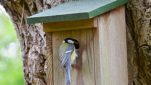 Great tit (Parus major) bringing food to nestbox to feed chicks, Belgium, April.  -  Philippe Clement