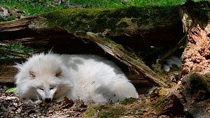 Raccoon dog (Nyctereutes procyonoides) resting under tree trunk in forest, white color phase, Germany, May. Captive. - Philippe Clement