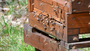 Honey bees (Apis mellifera) entering and leaving wooden beehive, Germany, May. - Philippe Clement