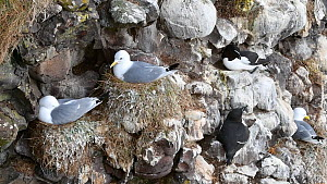 Black-legged kittiwakes (Rissa tridactyla) and Razorbills (Alca torda) nesting on cliff face, Fowlsheugh RSPB Reserve, Aberdeenshire, Scotland, UK, May - Philippe Clement