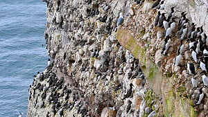 Breeding colony of Common guillemots (Uria aalge) nesting on rock ledges, Fowlsheugh RSPB Reserve, Aberdeenshire, Scotland, UK, May  -  Philippe Clement