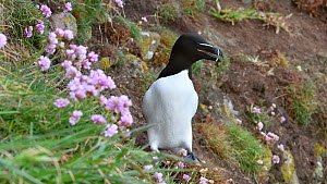 Razorbill (Alca torda) looking around on sea cliff top at seabird colony in spring, Fowlsheugh RSPB Reserve, Aberdeenshire, Scotland, UK, May  -  Philippe Clement