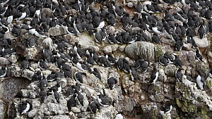 Common guillemots (Uria aalge) nesting on rock ledges in breeding colony, Fowlsheugh RSPB Reserve, Aberdeenshire, Scotland, UK, May - Philippe Clement