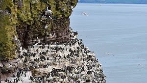 Kittiwakes (Rissa tridactyla), Common guillemots (Uria aalge) and Razorbills (Alca torda) nesting on rock ledges in breeding colony, Fowlsheugh RSPB Reserve, Aberdeenshire, Scotland, UK, May  -  Philippe Clement