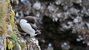 Common guillemot (Uria aalge) sleeping on a rock ledge in breeding colony, Fowlsheugh RSPB Reserve, Aberdeenshire, Scotland, UK, May  -  Philippe Clement