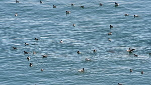 Common guillemots (Uria aalge) swimming and fishing at sea near breeding colony, Fowlsheugh RSPB Reserve, Aberdeenshire, Scotland, UK, May  -  Philippe Clement