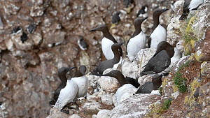 Bridled guillemot (Uria aalge) with white eye ring nesting amongst other Common guillemots in breeding colony, Fowlsheugh RSPB Reserve, Aberdeenshire, Scotland, UK, May. - Philippe Clement