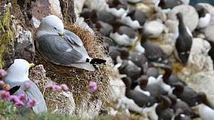 Kittiwakes (Rissa tridactyla) nesting on a rock ledge, with Common guillemots (Uria aalga) in the background, Fowlsheugh RSPB Reserve, Aberdeenshire, Scotland, UK, May  -  Philippe Clement